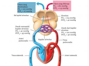 Sistem Peredaran Darah dan Proses Pernapasan Manusia