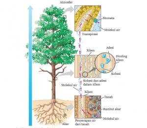 Pengangkutan Air dan Nutrisi pada Tumbuhan