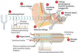Mekanisme Pendengaran pada Manusia dan Hewan